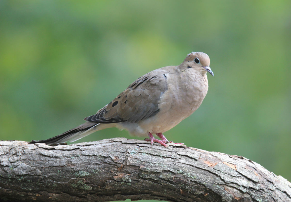 Mourning-Dove-sitting-on-a-branch_b